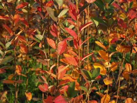 Amelanchier canadensis 'Rainbow Pillar'