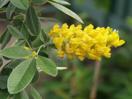 Argyrocytisus battandieri 'Yellow Tail'