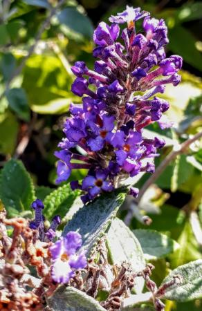 Buddleja davidii 'Blue Heaven'