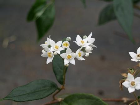 Deutzia multiradiata