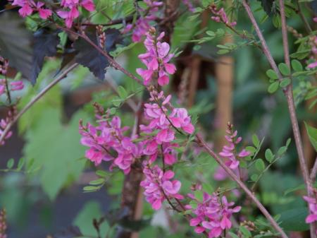 Indigofera himalayensis 'Silk Road'
