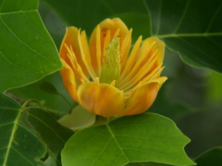 Liriodendron 'Doc. Deforce Delight'
