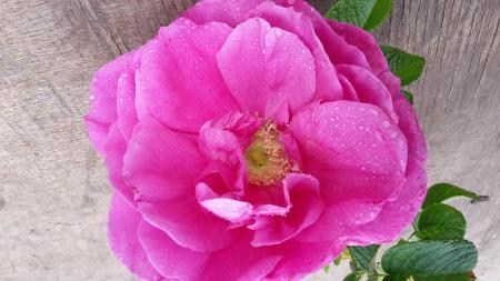 Rosa (R) 'Pierette Pavement'