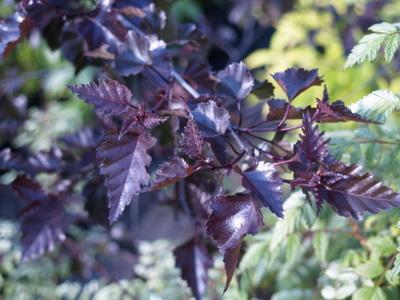 Betula  `Crimson Frost`