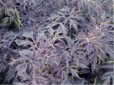 sambucus nigra 39 black lace 39 vlier shrubs. Black Bedroom Furniture Sets. Home Design Ideas