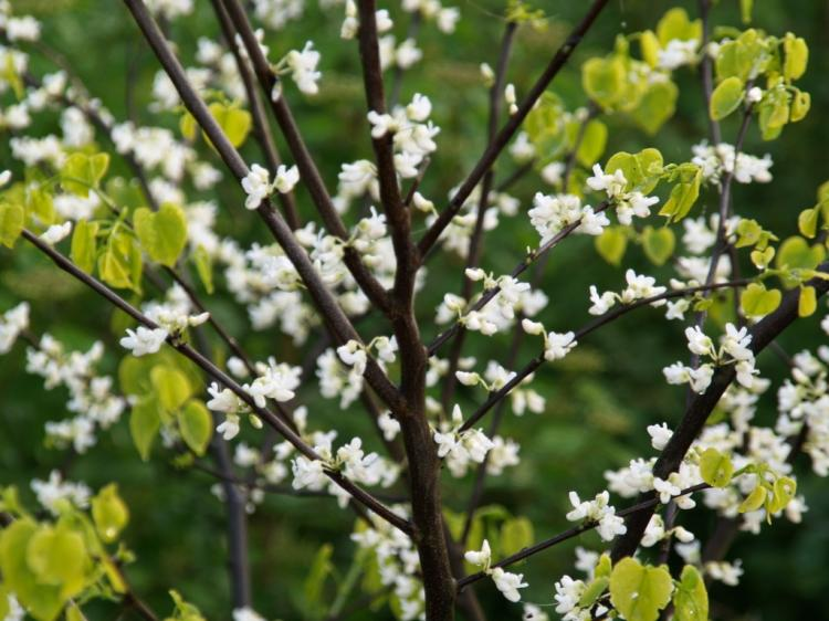 Cercis canadensis 'Royal White'